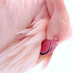 Pink Flamingo by Heike Hultsch