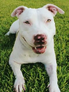 Have you been looking for a loyal, loving and laid-back companion? Then look no further! Hey! I'm Atlas and I'm looking for a forever home. I'm about one year old Staffordshire bull terrier mix. I'm full grown but on the small side, weighing only 45 pounds.