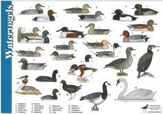 Herkenningskaart Watervogels   Landschap Noord-Holland