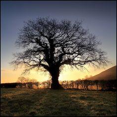 Oak Tree - Glastonbury by angus clyne, via Flickr