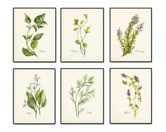 6 WATERCOLOR BOTANICAL HERBS SET NO. 2 GICLEE CANVAS PRINT This print set features 6 watercolor herb giclee canvas prints which have been layered onto a lightly aged background which retains some of t