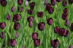 Tulip Queen of Night. Blooms May. Height 60 cm