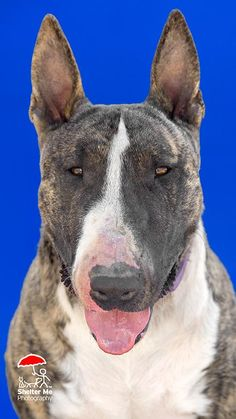 6/16/16 Meet Stitch, an adoptable Bull Terrier looking for a forever home. If you're looking for a new pet to adopt or want information on how to get involved with adoptable pets, Petfinder.com is a great resource.
