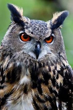 Owl photography - be Owl Photos, Owl Pictures, Owl Bird, Bird Art, Beautiful Owl, Animals Beautiful, Owl Tat, Burrowing Owl, Great Horned Owl