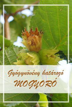 A Mogyoró népies neve:  Mogyorófa.  Hogyan gyűjtsük a Mogyoró gyógynövényt?  A növény levelét használják gyógyászati célokra, melynek gyűjtési ideje június-július. Medicinal Plants, Herbalism, Cabbage, Spices, Herbs, Vegetables, Healthy, Plant, Herbal Medicine