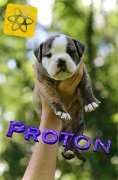 Continental Bulldog, Bulldog Breeds, Pitbulls, Bulldogs, Animals, Animales, Pit Bulls, Animaux, Pitbull