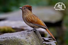 Striated Laughingthrush - Google Search