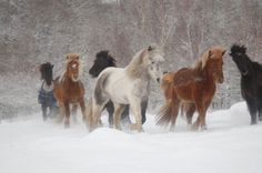 The ancestors of the Icelandic horse were taken to Iceland by Viking Age Scandinavians between 860 and 935 AD. The Norse settlers were followed by immigrants from Viking colonies in Britain. These later settlers brought horses which were crossed with the previously imported animals. Natural selection played a major role in the development of the breed, as large numbers of horses died from lack of food and exposure to the elements.