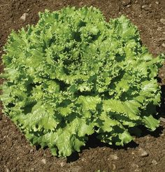 Lettuce Tropicana, Lactuca sativa 250 Organic Pelleted Seeds by David's Garden Seeds Best heat and bolt tolerance of standard greenleaf types. Plants produce full heads with heavy leaves. Tolerant to tip burn. Herb Seeds, Garden Seeds, Garden Plants, Vegetable Garden, Edible Garden, Easy Garden, Lawn And Garden, Organic Seeds, Grow Organic