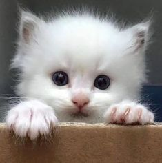 The Effective Pictures We Offer You About Cutest Baby Animals so cute A quality picture can tell you Puppies And Kitties, Cute Cats And Kittens, I Love Cats, Kittens Cutest, Crazy Cats, Pretty Cats, Beautiful Cats, Beautiful Cat Breeds, Animals Beautiful