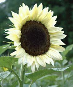 White Sunflower.