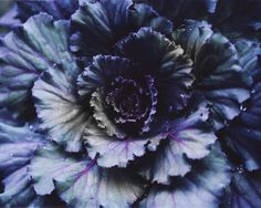Don't forget to plant ornamental cabbage for fall! Sea Plants, Purple Plants, My Flower, Flower Power, Purple Lilac, Purple Kale, Purple Cabbage, Blue Green, Ornamental Cabbage