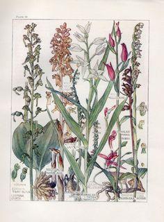 Bird's Nest Orchid - Wild Flower Botanical Print by Isabel Adams - Antique Print