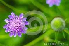 Pigeon scabious (Scabiosa columbaria) in the garden.