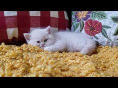 Exotic Shorthair Kitten For Sale - Cream Puff