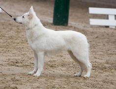Januja-Ezira of Skah Dakota, mama van Bandhu! Zwitserse Witte Herders