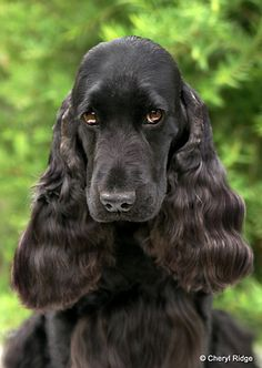 Cocker Spaniel (English)-he looks kind of regal....doesn't he?!