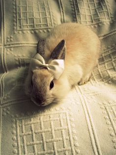 Fluffy Bunny with Bow Fluffy Bunny, Fluffy Rabbit, Cute Baby Animals, Animals And Pets, Funny Animals, Wild Animals, So Cute Baby, Cute Babies, Baby Bunnies