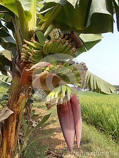 Photo about Closeups pf red banana flowers on the field, violet flower. Image of bunch, cluster, eating - 100435120 Indoor Banana Tree, Banana Flower, Red Tree, Planting Flowers, Fields, Trees, Gardens, Stock Photos, Vegetables