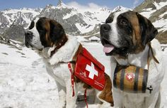 Saint Bernard dogs Katy and Salsa sit on the snow after their arrival at the Great Saint Bernard mountain pass at an altitude of 2,473 metres (8,114 ft.) in the southwestern Swiss Alps