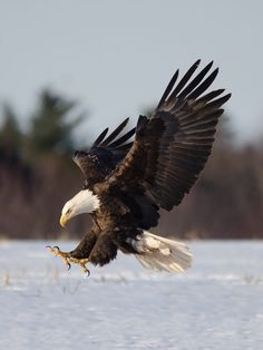 Deadly Descent by Peter Brannon / Eagle Images, Eagle Pictures, Bird Pictures, Animal Pictures, Benfica Wallpaper, Aigle Animal, Animals And Pets, Cute Animals, Eagle Drawing