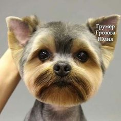 More About The Yorkshire Terrier Puppies Grooming Dog Grooming Styles, Dog Grooming Salons, Dog Grooming Tips, Dog Grooming Business, Yorkies, Yorkie Cuts, Yorkie Haircuts, Yorshire Terrier, Creative Grooming
