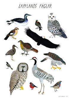 Birds of Lapland