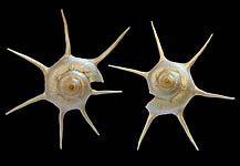 Decoshells Polished - Australian Seashells