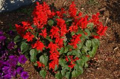 Red salvia is one of our most popular bedding plants. This annual likes sun and goes great with blue ageratum and white alyssum to compose July 4th plantings. Get the facts about it here: http://landscaping.about.com/od/flowerseed/p/red_salvia.htm