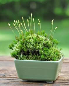 Mini moss dish garden 3 x 3 Ikebana, Succulents Garden, Garden Plants, Air Plants, Indoor Plants, Growing Moss, Moss Plant, Dish Garden, Terrarium Plants