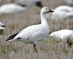 Standing Snow Goose