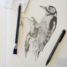 Spotted wood pecker pencil on paper