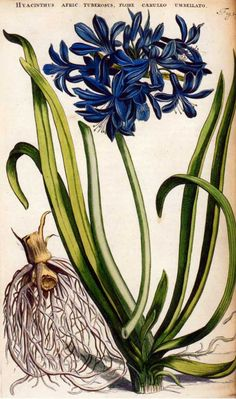 This illustration of an Agapanthus comes from Horti Medici Amstelodamensis Rariorum, the grand work compiled by Johannes Commelin (1629-1692) and published between 1697 and 1701.