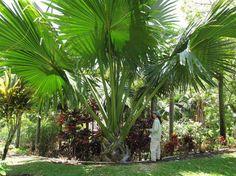 ¿Te gustan las palmeras gigantes? Descubre a la Corypha - http://www.jardineriaon.com/te-gustan-las-palmeras-gigantes-descubre-a-la-corypha.html #plantas