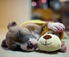 This is like my Bernadette...always falling asleep with toys between her paws! Precious!