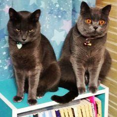 家の猫2匹(*´∇`*)1匹の猫の目つきがすごい(;´∀`)なんかすご~く嫌(((-д-´。)(。`-д-)))な感じの顔してるよ(笑) #家#飼い猫#愛猫#ペット#ブリティッシュ#ブリティッシュブルー#ブリティッシュショートヘア#ロシアンブルー#雑種#目つき#目つき悪い#嫌#嫌な顔#嫌な感じ#星柄#カーテン#星柄カーテン#カラーボックス#本棚#本#文庫#文庫本