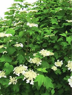 Wentworth American cranberry bush Viburnum trilobum 'Wentworth',  rich red autumn foliage and yellow-red fruits that ripen to deep red. 15 ft tall & 12 ft wide. Zones 2-7 Viburnum - Plant Encyclopedia - BHG.com