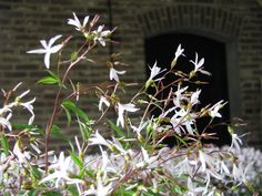 Gillenia trifoliata. Beautiful cutflower, organically grown at Bisselingskaat (NL)