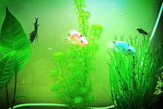 My parrot fish pretty pink n blue