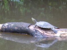 Flussschildkröte