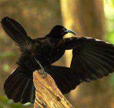 Paradise riflebird, Ptiloris paradiseus