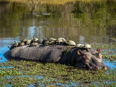 Baby Turtles Hitch a Ride on Hippo's Back Animals And Pets, Baby Animals, Funny Animals, Cute Animals, Baby Hippo, Reptiles And Amphibians, Mammals, Beautiful Creatures, Animals Beautiful