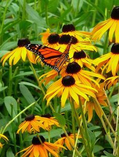 monarch butterfly 7 Black eyed Susans