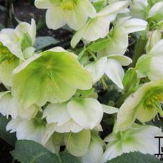 Kerstroos - Helleborus niger - nieskruid 50 cm wit nov. tot april snoei:voorjaar - (niet te natte/niet te winderige plaats) na bloem mooie groene zaaddozen