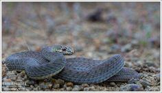 https://flic.kr/p/H7ExoW | Malpolon insigitus | Eastern Montpellier Snake Alexandrouplis, Greece