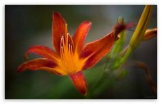 Red Beauty HD desktop wallpaper : Widescreen : High Definition : Fullscreen : Mobile