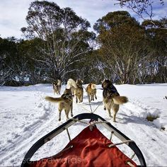 Photo @jasonedwardsng A dog sled races between snow-covered eucalyptus trees in the Victorian Alps. The Australian High Country is not tortured by jagged oxygen-starved peaks but shrouded in beautiful forested slopes dotted with colourful Snow Gums and the musical calls of Pied Currawongs through uninhabited valleys.  @ILCP_photographers @natgeo @natgeocreative #natgeocreative #natgeo @Australia #alpine #SeeAustralia #husky #visitvictoria #SledDog #highcountry by natgeotravel