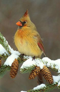 Female Cardinal - Some say this is a Northern Cardinal and some say this is a Spring Cardinal, and finally, others simply say that this is a Female Cardinal.  I tried to search for which one it was, but my research was fruitless...