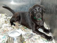2 / 12     Petango.com – Meet Camille - 012105i, a 2 months 16 days Retriever, Labrador / Mix available for adoption in TUPELO, MS Contact Information Address  2400 S Gloster Street, TUPELO, MS, 38801  Phone  (662) 841-6500  Website  http://www.tupeloleehumane.org  Email  info@tupelo-leehumane.org