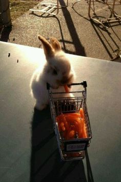 Can life get any cuter? A netherland dwarf bunny pushing a cart of carrots!